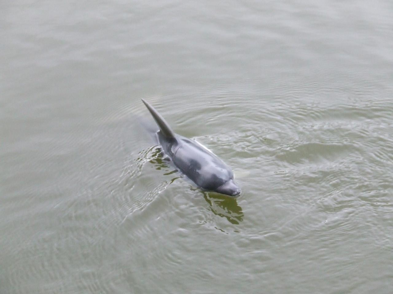 dauphin de pascal.f