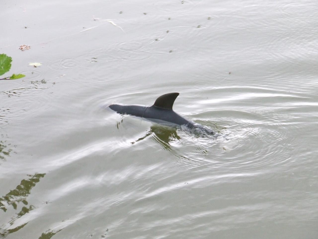 dauphin de pascal .f